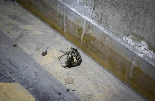 cadáver de una rata